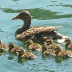 mom baby ducks